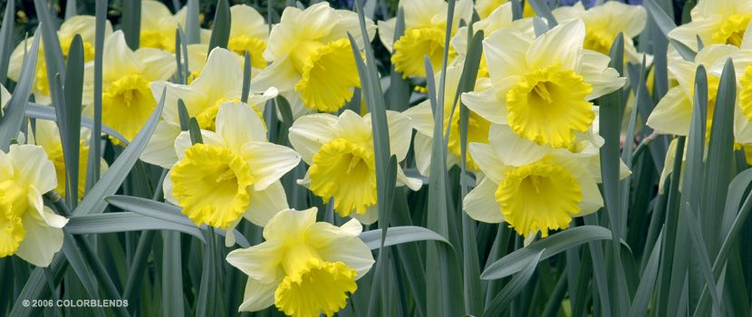 Daffodil las vegas trumpet daffodils bulbs for sale colorblends a photograph of the the spring flowering daffodil bulbs cultivar las vegas mightylinksfo