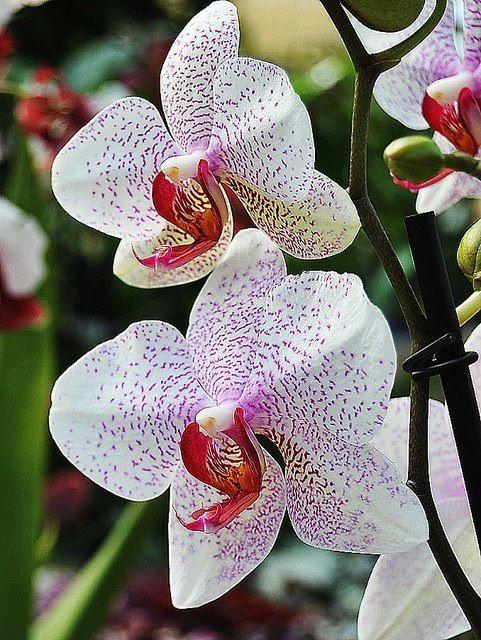 Beleza Da Natureza Beautiful Orchids Orchid Flower Rare Flowers