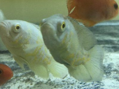 Premium Rare Lemon Yellow Oscar Cichlid 3 To 3 5 Long Www Ecwid Com Oscar Fish Cichlids Fish