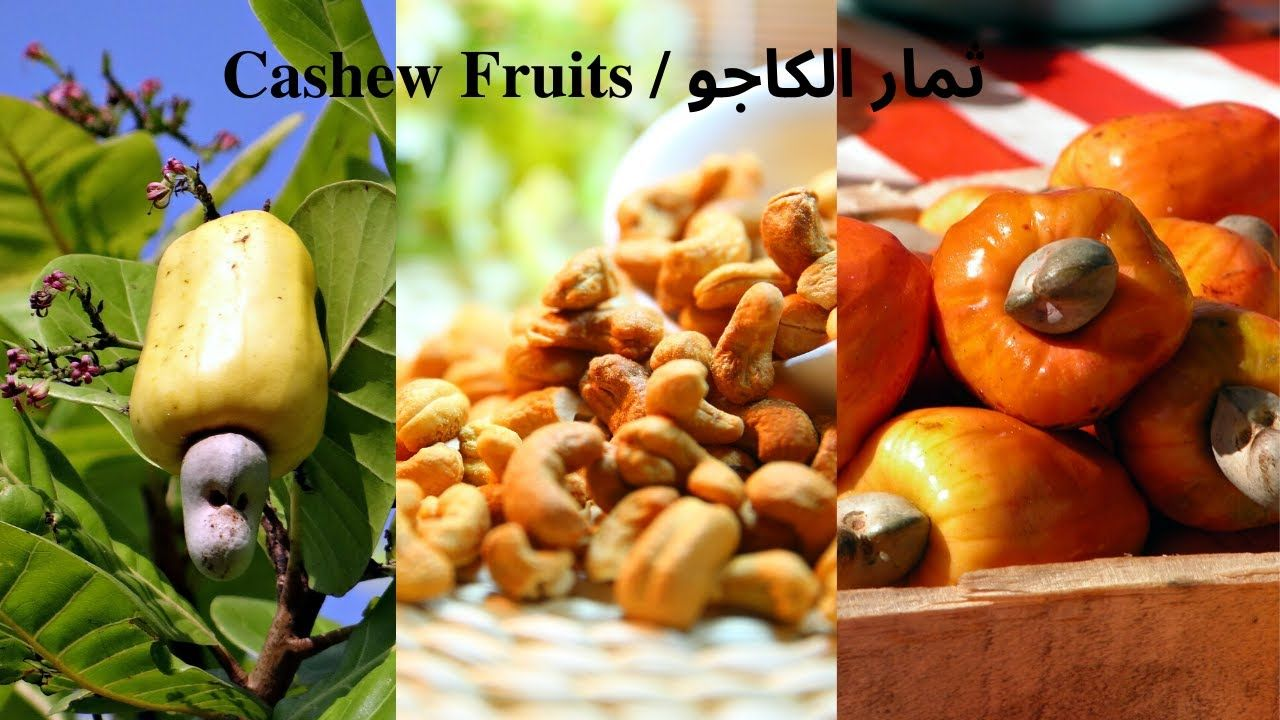 Cashew Fruits How To Grow It ثمار الكاجو كيفية زراعتها Fruit Cashew Growing