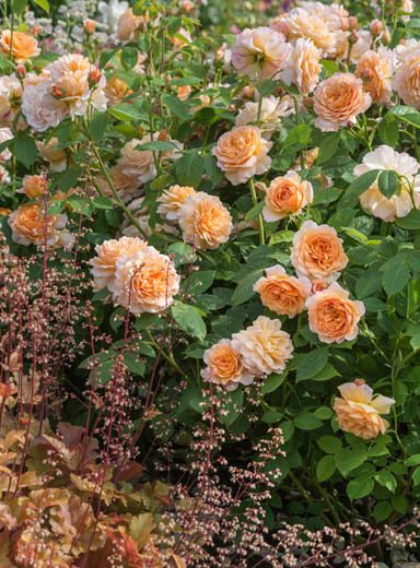 Perennial Combinations Rose Combinations Summer Borders