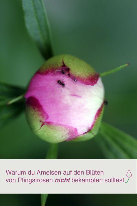 Warum ameisen auf pfingstrosen n tzlich sind vrtlarstvo garten garten ideen und garten pflanzen - Ameisen im garten bekampfen ...