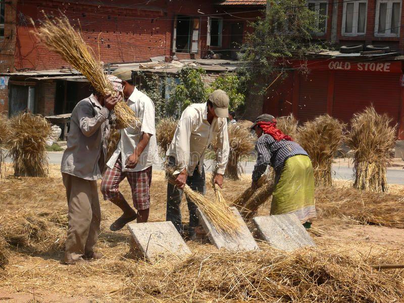 Threshing grain by hand The traditional way of threshing grain in Bhaktapur Ne