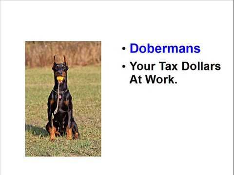 Facts About Dobermans - Incredible Dogs