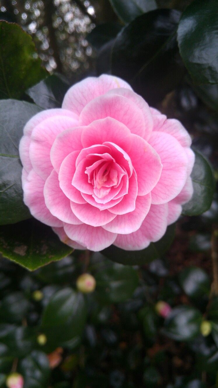 Camellia Japonica Lady Loch Pink Flowers Camellia Flower Flower Background Iphone
