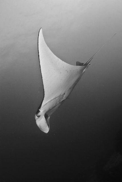 Manta Ray | by Stephane Bailliez