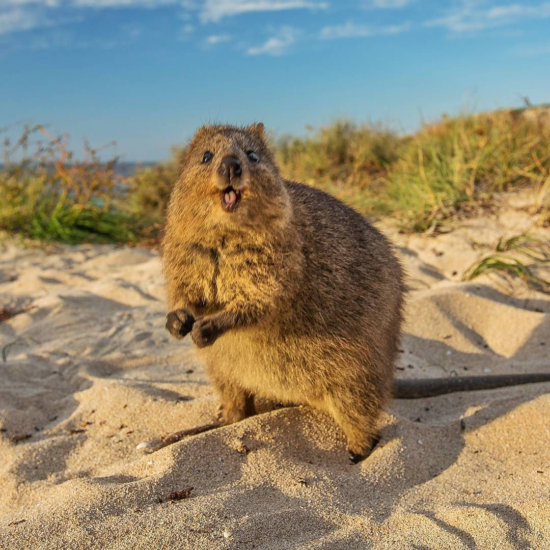 Oh heyyy #HappyQuokkaMonday!! Who is going to be in Perth ...