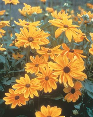 Rudbeckia hirta 'Indian Summer'  Black-Eyed Susan, Gloriosa Daisy  zones 4-9