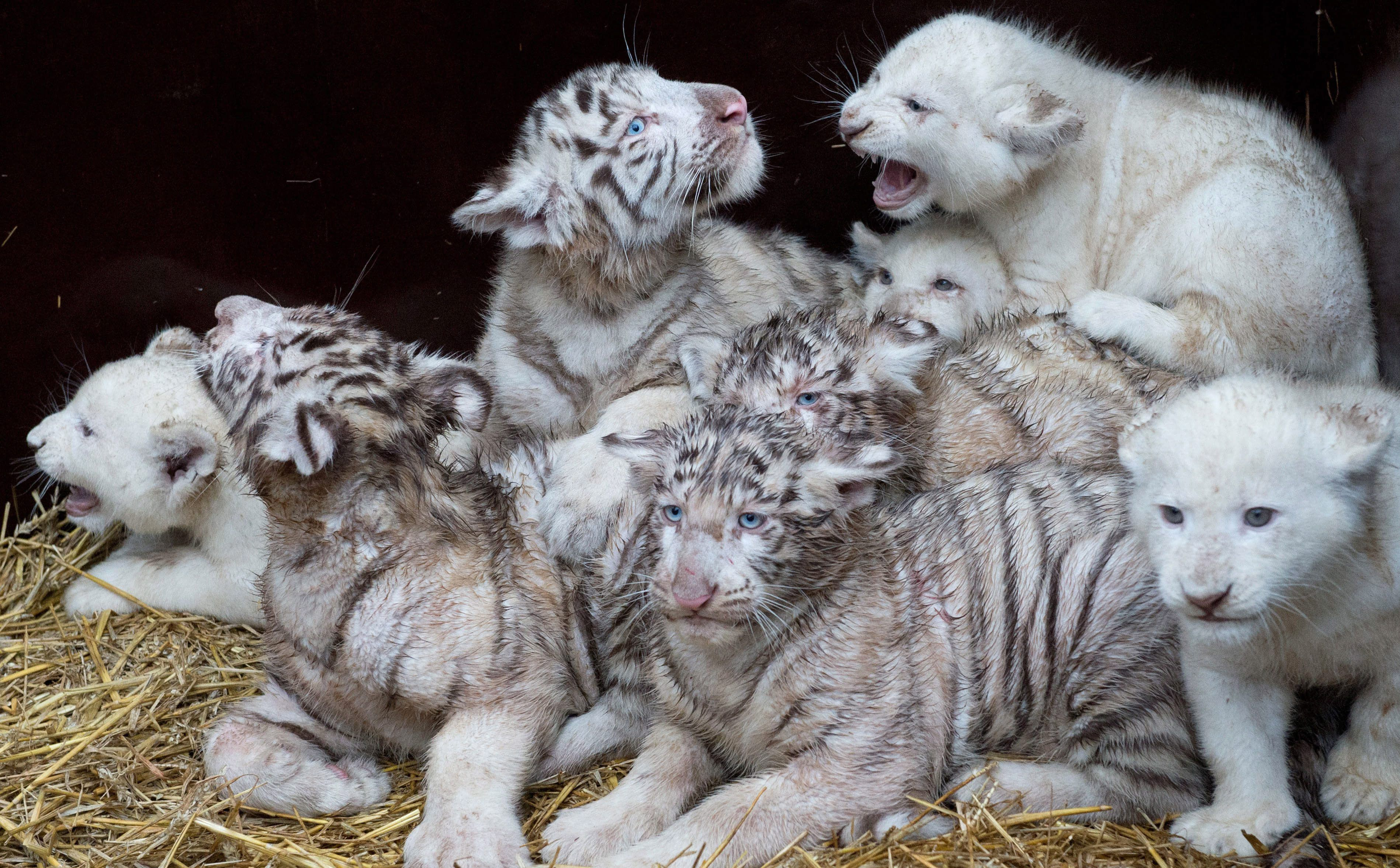 Four white lions and four white tigers are pictured in ...
