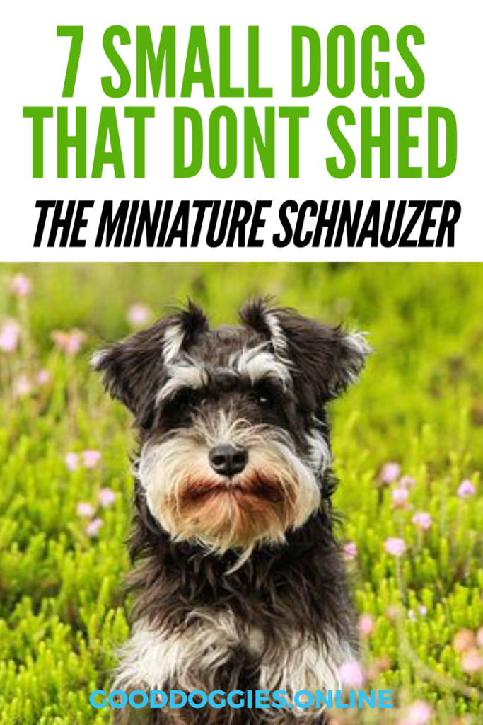 7 Adorable Non Shedding Small Dogs Small Dog Breeds Dog Breeds That Dont Shed Mini Dogs Breeds Small Dogs