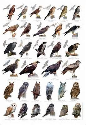 Southern California Wild Birds Identification Birds Of Prey Uk Birds Of Prey Pet Birds