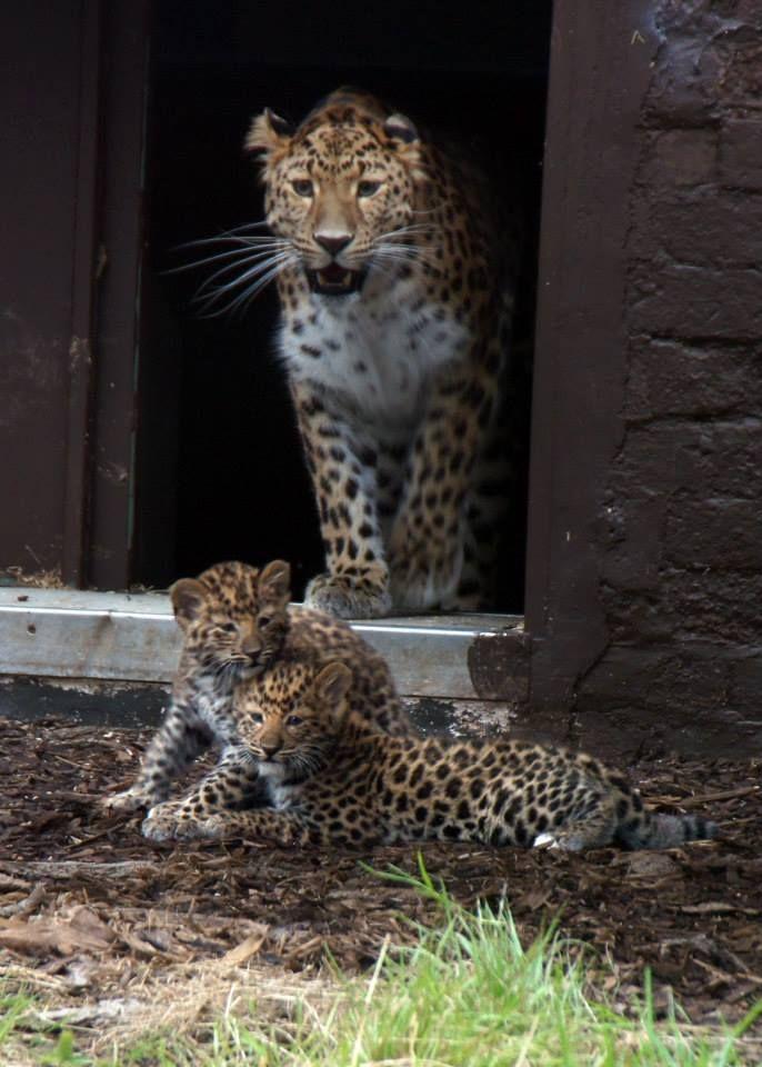 Rare Amur Leopards Born At Uk Zoo Amur Leopard Big Cats Rare Cats