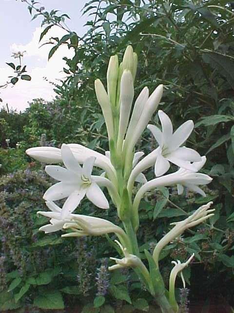 Nombre Popular Nardo Vara De San José Nardos Nombre Científico O Familia Amaryllidaceae Amarilidáceas Carac Azucena Planta Azucena Flores Flores Bonitas