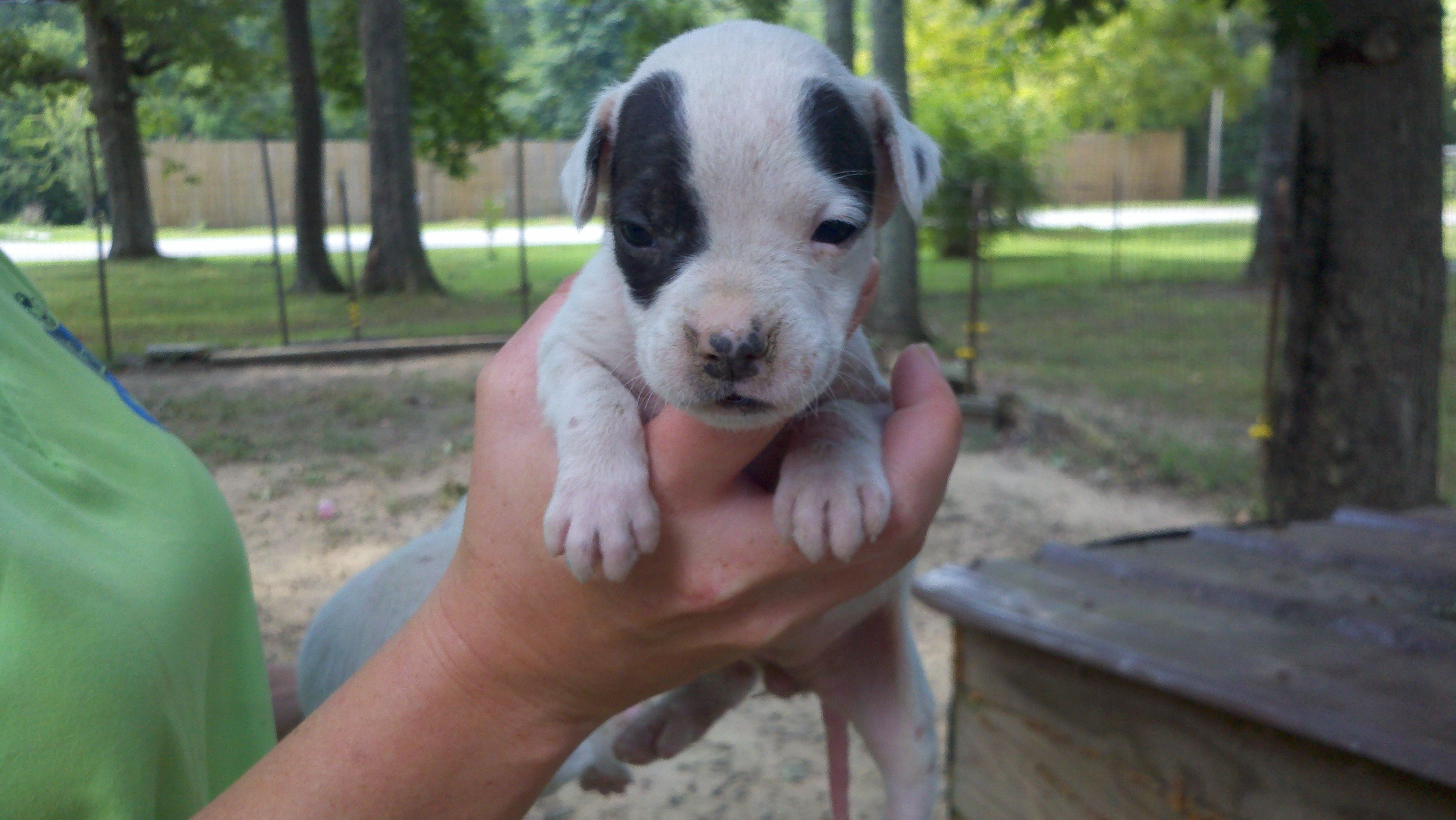 My Little White Boxador Maile 4 Weeks Old Puppy Love New Puppy Puppies