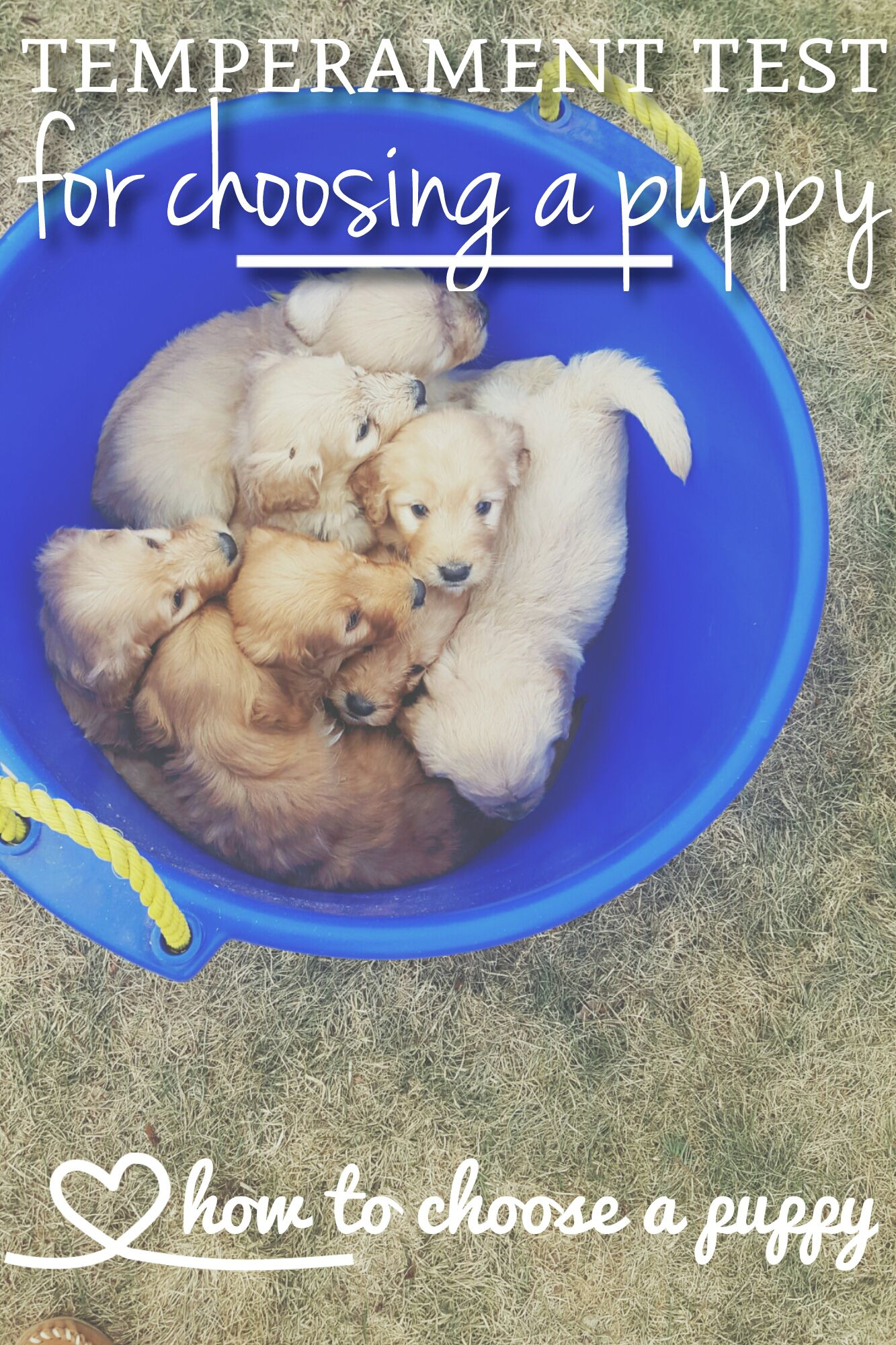 Temperament Testing For Puppies Training Your Dog Puppies Dog