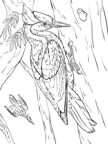 Carpintero Real Dibujo Para Colorear P 225 Jaros Y Aves