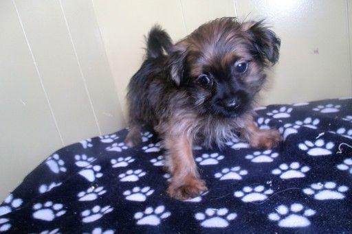 Shorkie Tzu puppy for sale in PATERSON, NJ. ADN28157 on