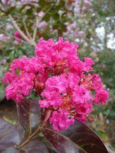 SHRUB 35 PURPLE CRAPE MYRTLE TREE DROUGHT TOLERANT PERENNIAL FLOWER SEEDS