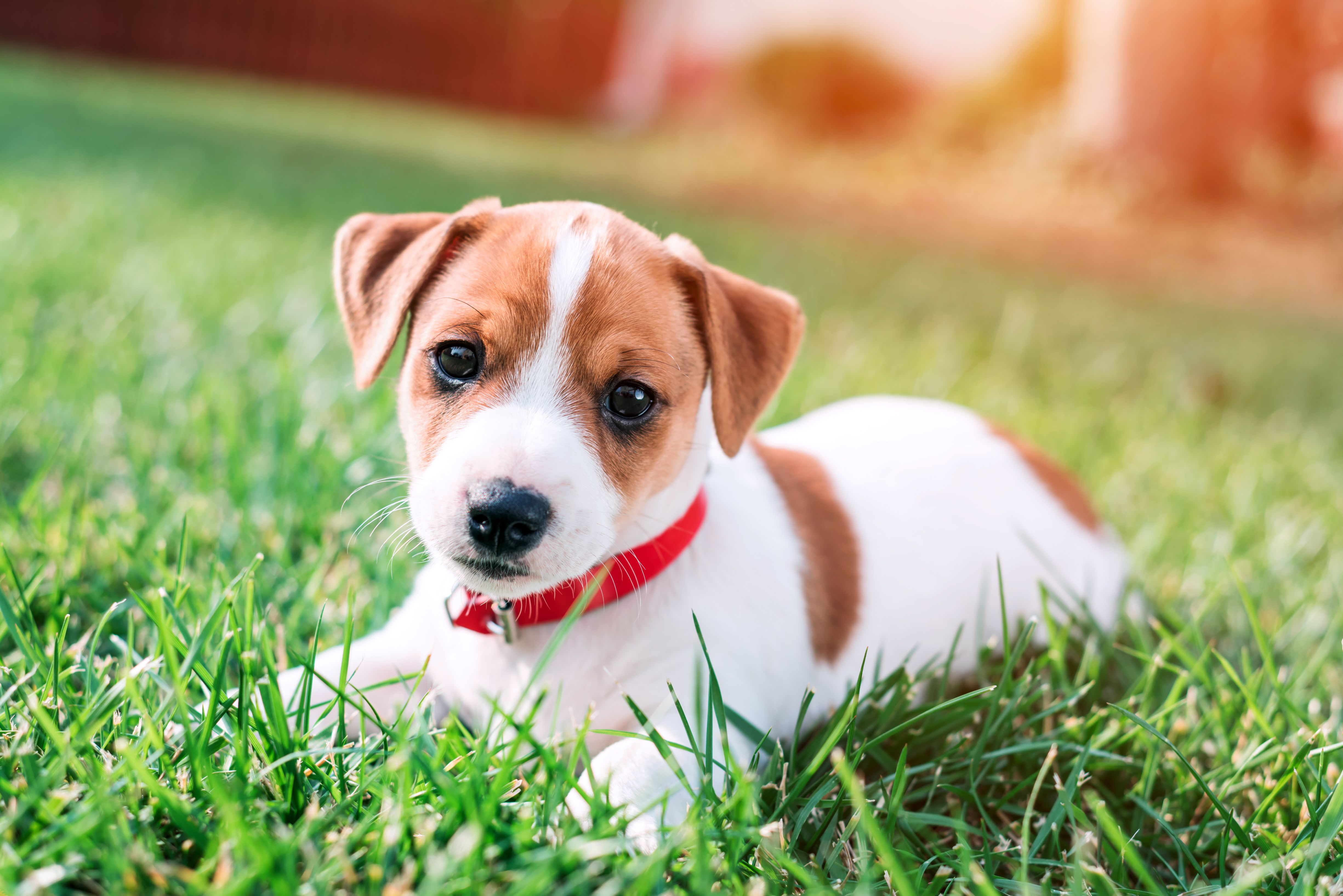Jack Russell Terrier Dog4us Jack Russell Terrier Puppies Jack Russell Jack Russell Puppies