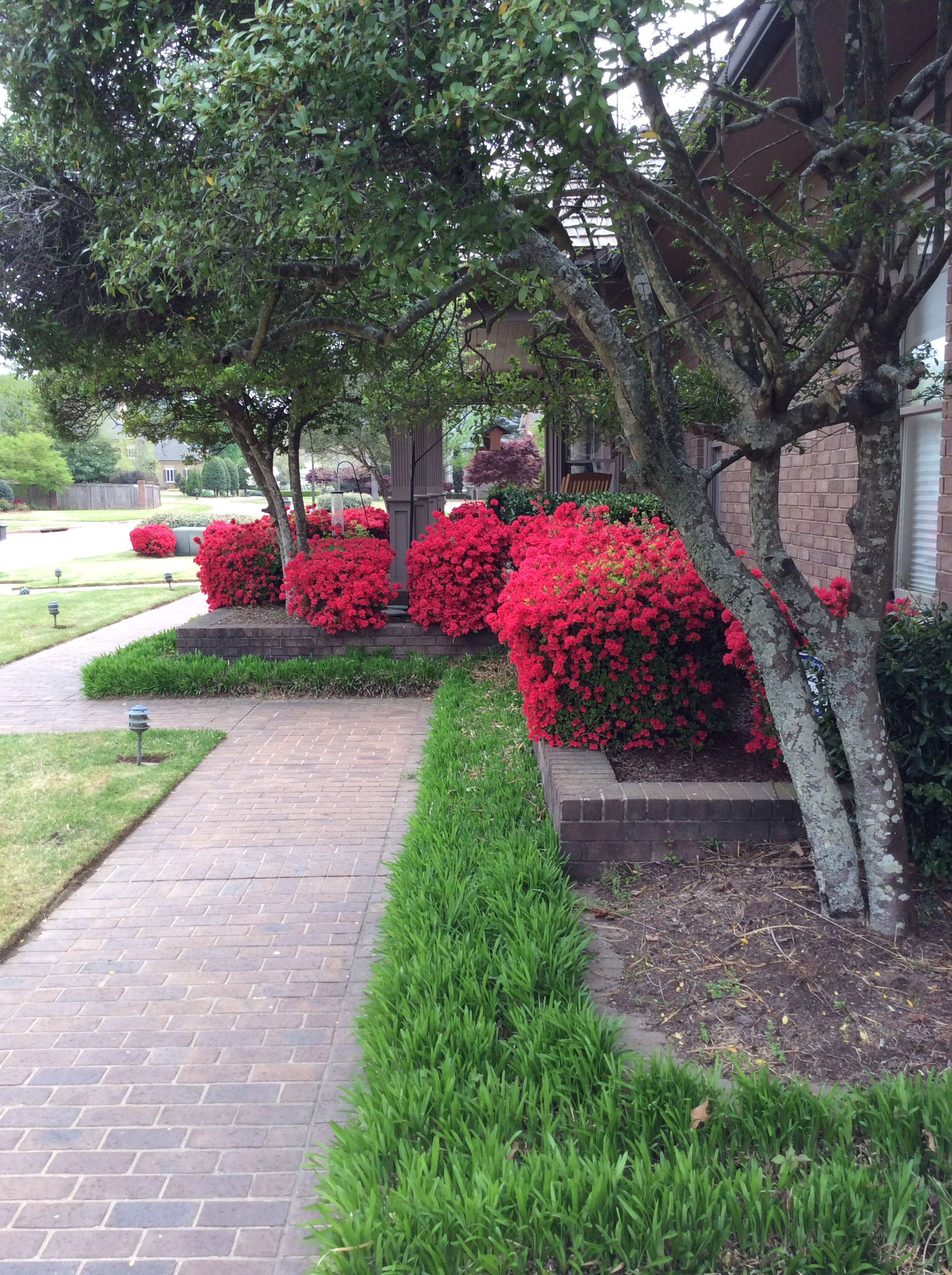 Christmas Cheer Azaleas With Monkey Grass And Tree Form Yaupons