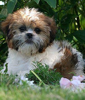 Shih Tzu Breed Info Characteristics Hypoallergenic Yes Cute Dogs Shih Tzu Shih Tzu Dog