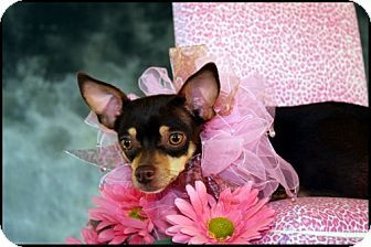 Dallas, TX - Chihuahua. Meet SNICKERS, a dog for adoption. http://www.adoptapet.com/pet/10317342-dallas-texas-chihuahua