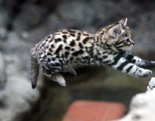 世界最小の猫って知ってる W 小さくても勇敢な猫 クロアシネコ をご紹介 子猫 猫 猫 子猫