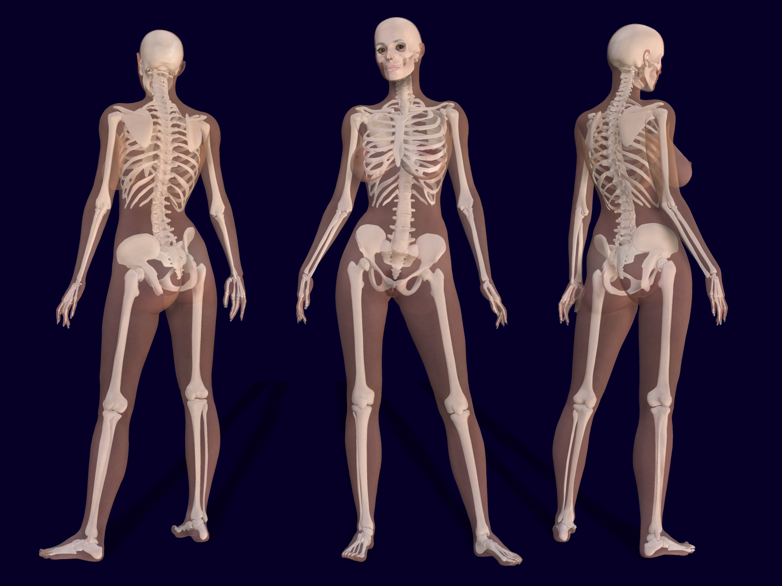 learn anatomy & physiology online | male torso, physiology and anatomy, Skeleton