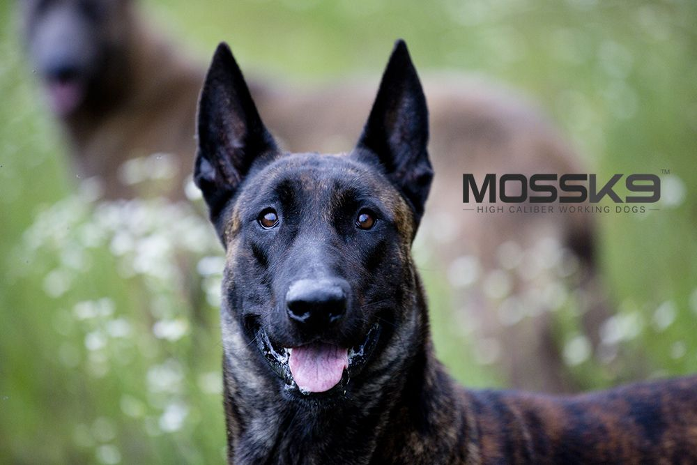 Landshark Spotted Run At Your Own Risk Dutchshepherd Mossk9 Policek9 Malinois Puppies Military Dogs Personal Protection Dog