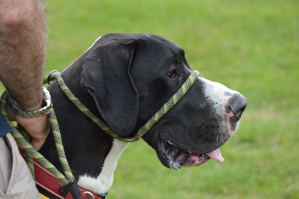 10 Best Harnesses For Great Danes Dog Walking Harness Great