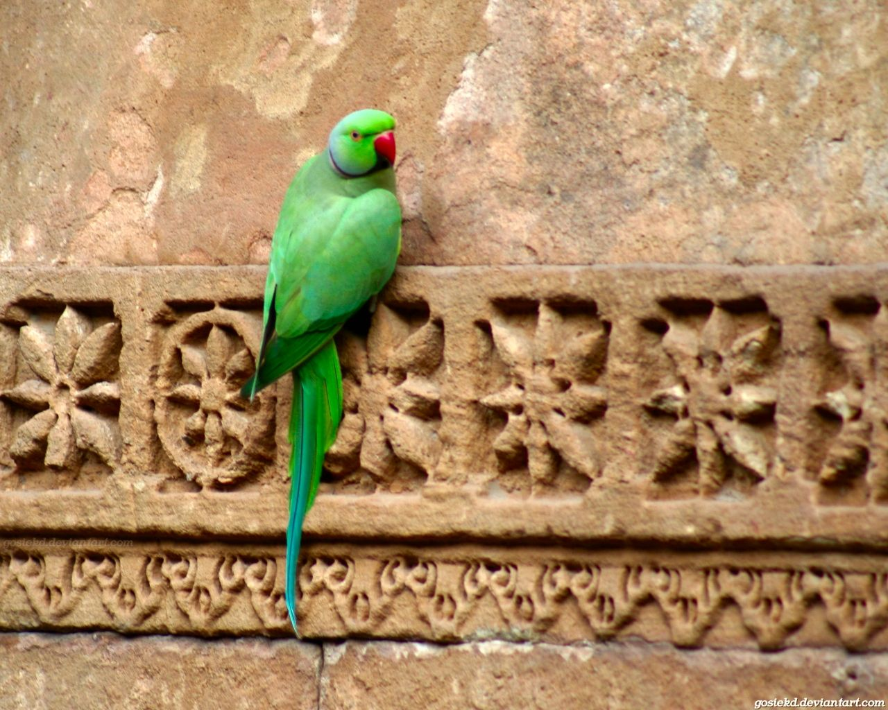 This is a wild parrot in India.  It's an Indian ring neck!  #india
