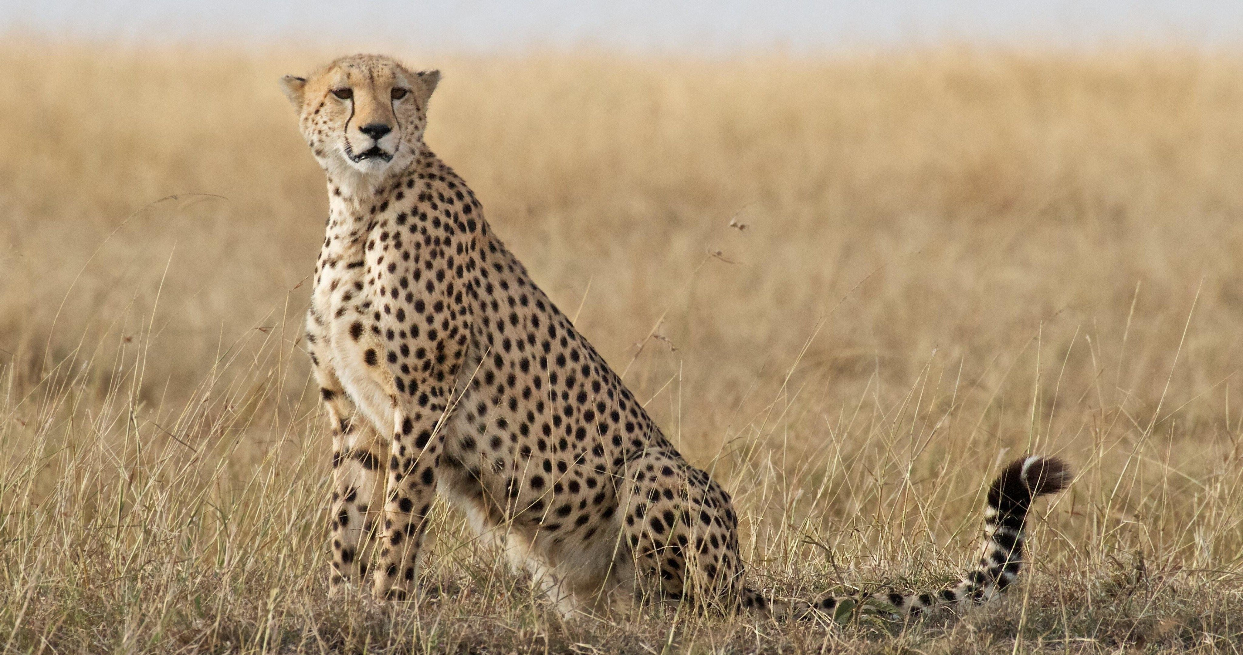 cheetah 4k ultra hd wallpaper ololoshka Pinterest Cheetahs