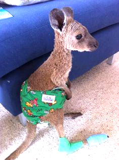This Baby Kangaroo Is The Cutest Thing Ever http://ift.tt/23in373