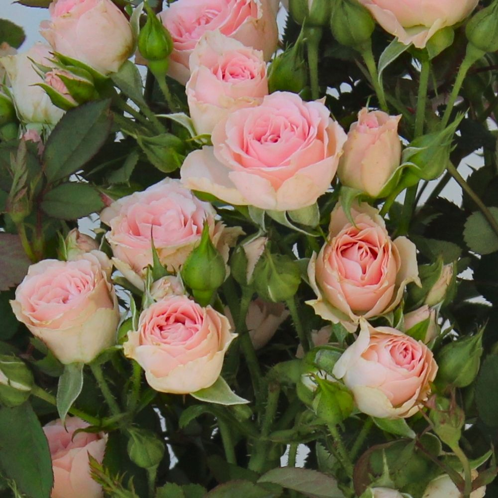 Cottage Farms Direct Miniature Roses Cupcake Mini Rose 2pc Cottage Garden Roses Mini Roses Planting Roses