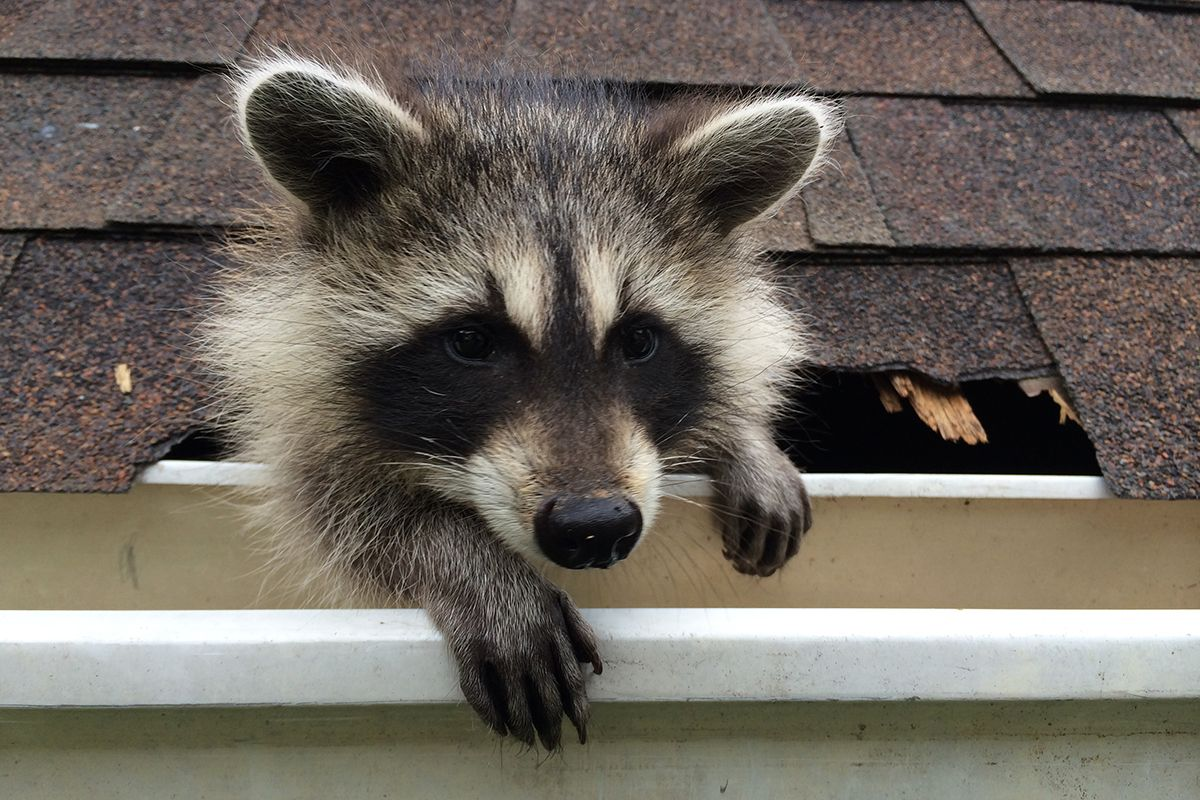 Channel Homepage Raccoon, Cute raccoon, Animals