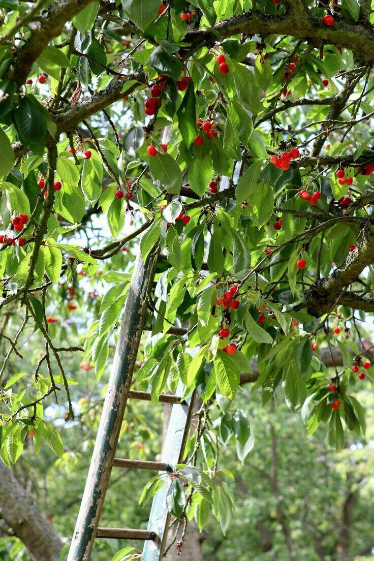 Pin By Meli On El Sabor De La Cereza Cherry Tree Sour Cherry Tree Cherry Orchard