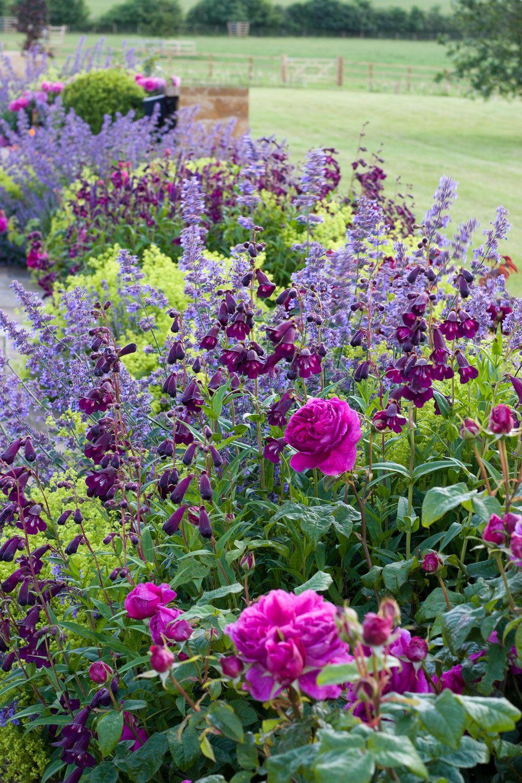 Garden design portfolio: Nicholsons Garden Design, Oxfordshire  Looks like catmint, penstemon 'midnight', ladys mantle, and a dark pink rose.