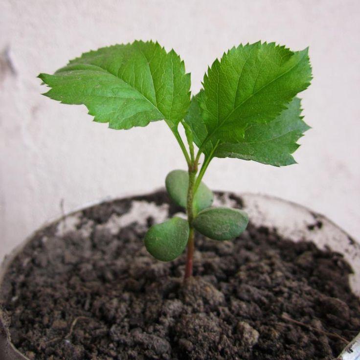 Cómo germinar semillas de manzana Germinado, Jardinería y Plantas