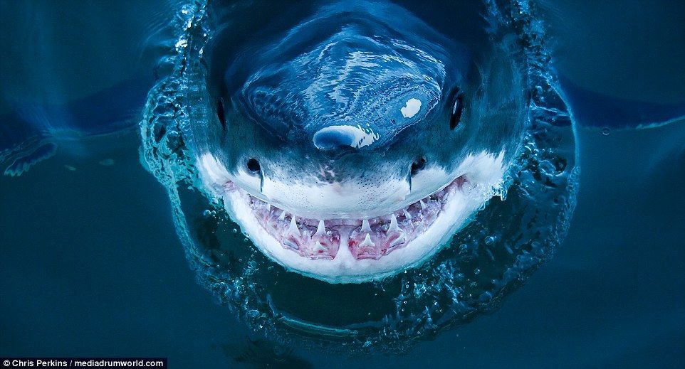 Photographer captures terrifying image of smiling great white shark