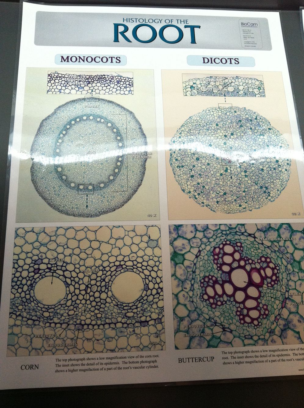 Monocot Dicot Plant Root Cells Escuela Science