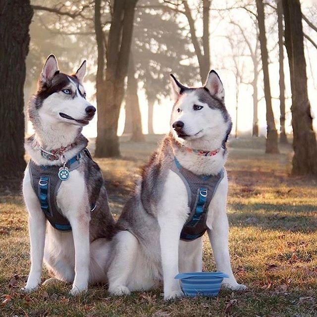 Twinning Harnesses Pic Credits 2husketeers Dog Harness Husky