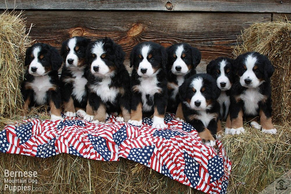 We Currently Have 9 New Rolly Polly Fluffy Bernese Mountain Dog