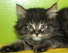 Image Result For Kittens Brown Tabby Cat Long Hair Kittens