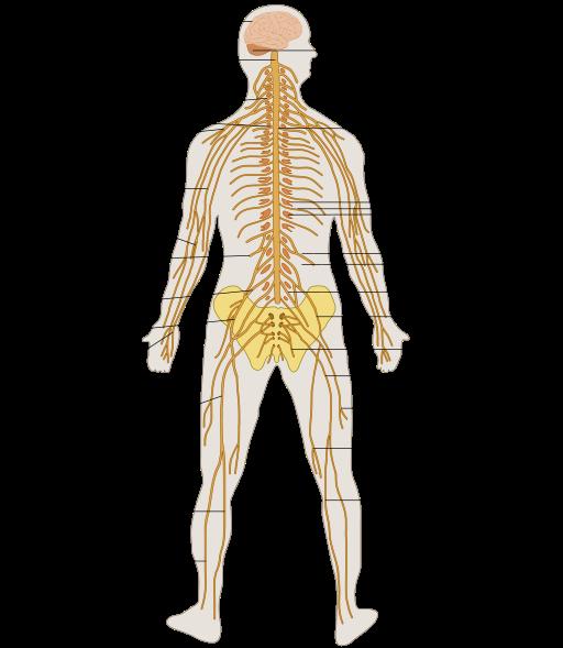 Sistema Nervioso Humano Explicado Facil Sistema Nervioso Periferico Sistema Nervioso Sistema Nervioso Humano
