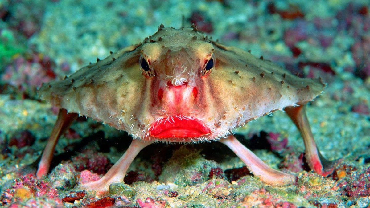 The Red Lipped Batfish Prefers Walking Along The Seafloor