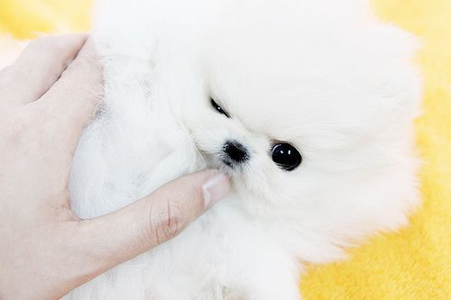 Cute teacup pomeranian puppy #teacuppomeranianpuppy Cute teacup pomeranian puppy | such a sweet darling teacup p… | Flickr #cuteteacuppuppies Cute teacup pomeranian puppy #teacuppomeranianpuppy Cute teacup pomeranian puppy | such a sweet darling teacup p… | Flickr #teacuppomeranianpuppy