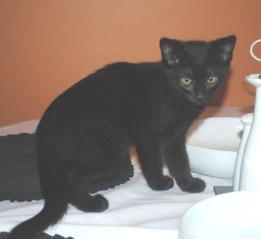 Meet 3 mth old Jason!  This little guy is a bundle of energy and jumps like a kangaroo!  He is great with kids and is looking for his forever home.  To adopt little Jason, go to www.orphankittenrescue.com