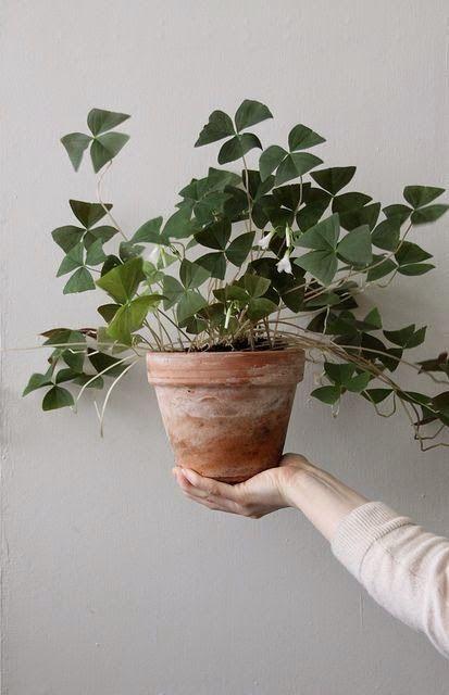 aujourd 39 hui coup de coeur pour cette plante originaire de chine le pilea peperomioides ou. Black Bedroom Furniture Sets. Home Design Ideas