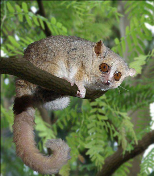 Мышиный лемур   Дикие животные, Факты о животных, Животные
