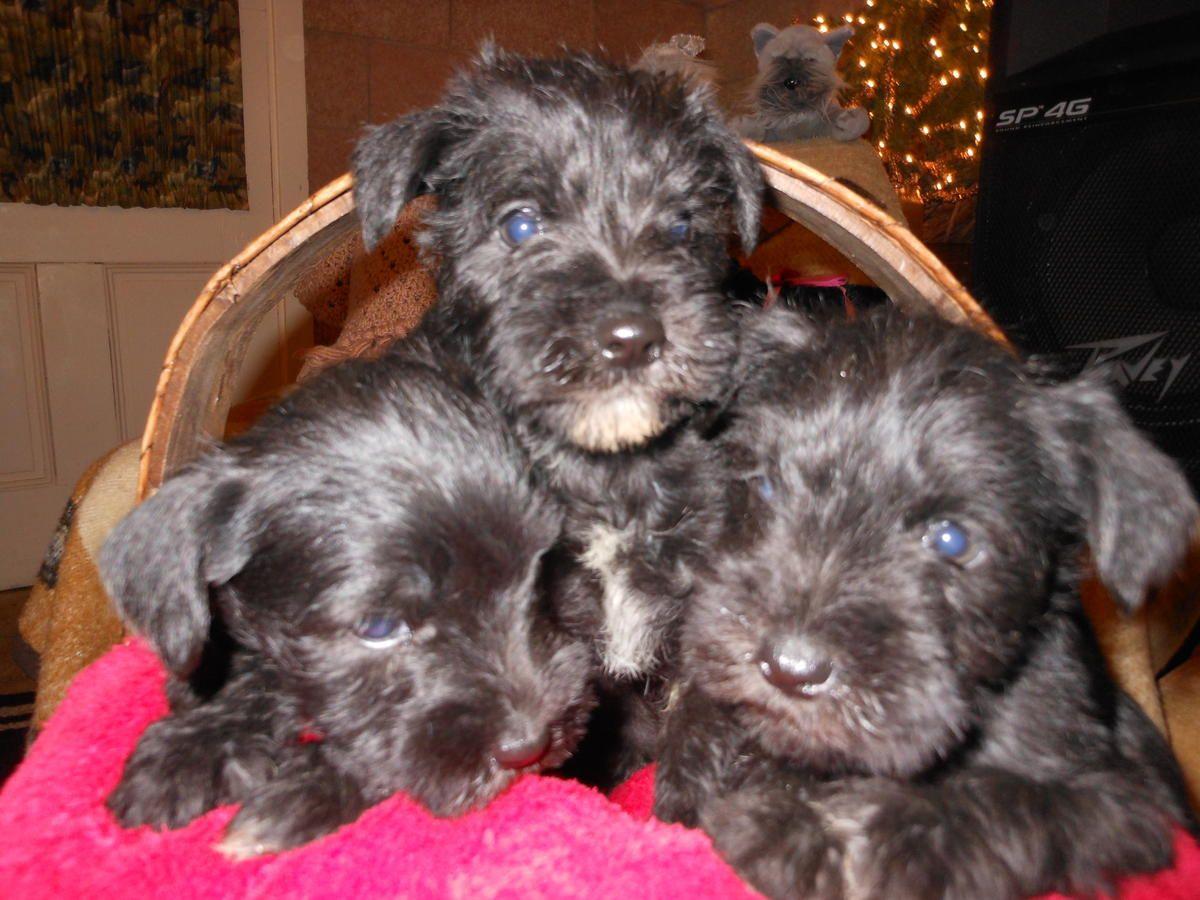 Akc Miniature Schnauzer Puppies In West Liberty Ohio Hoobly